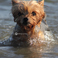 swimming yorkie